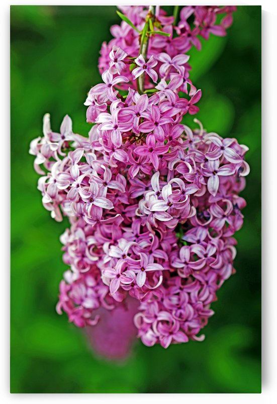 Wine Red Lilacs I by Deb Oppermann