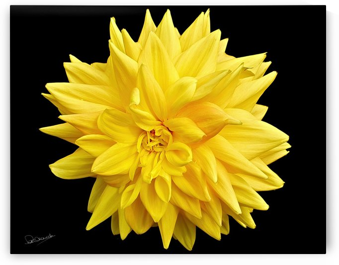 Dahlia Power by Shadow and Form