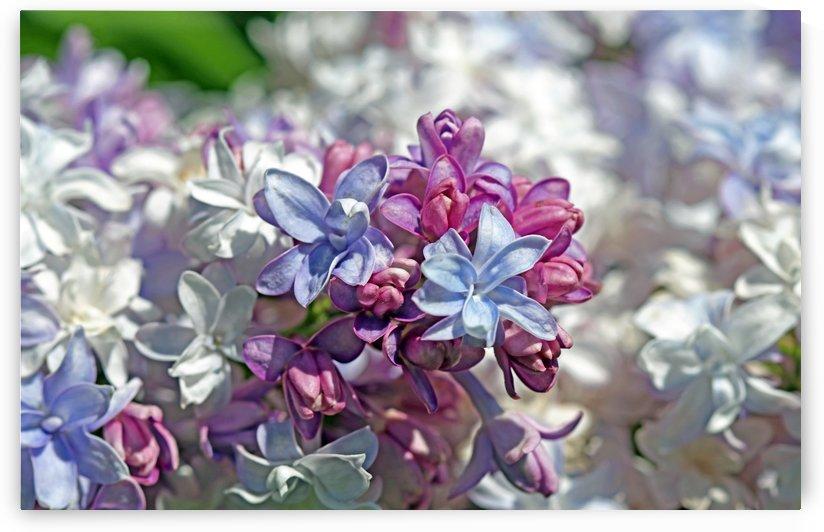 Gorgeous Lilacs by Deb Oppermann