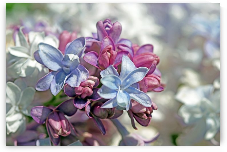 Gorgeous Lilacs I by Deb Oppermann