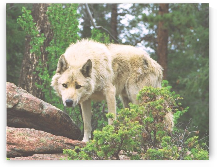 Timber Wolf Pouncing by Steve Tohari