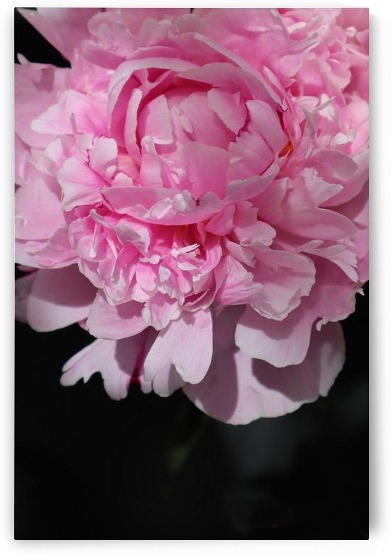 peonia rosada 2 by blursbyai