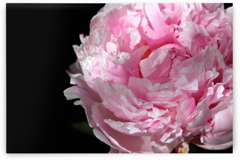 peonia rosada 1 by blursbyai