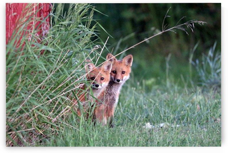 Super Cute Red Fox Kits by Deb Oppermann
