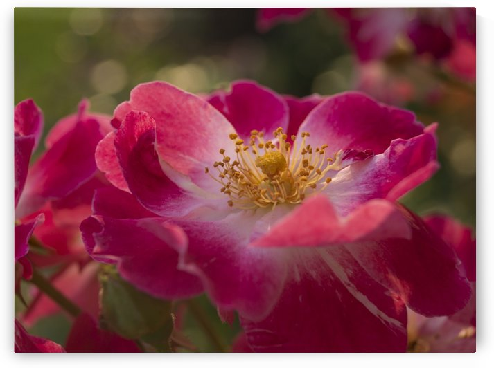 Sunlit Pink Roses by MM Anderson