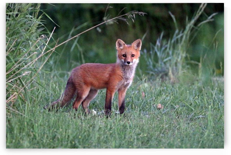 Sweet Red Fox Kit by Deb Oppermann