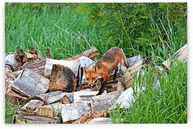Fox In The Woodpile by Deb Oppermann