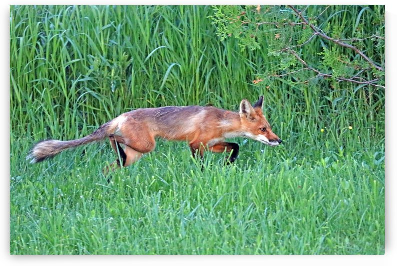 Stealthy Fox by Deb Oppermann