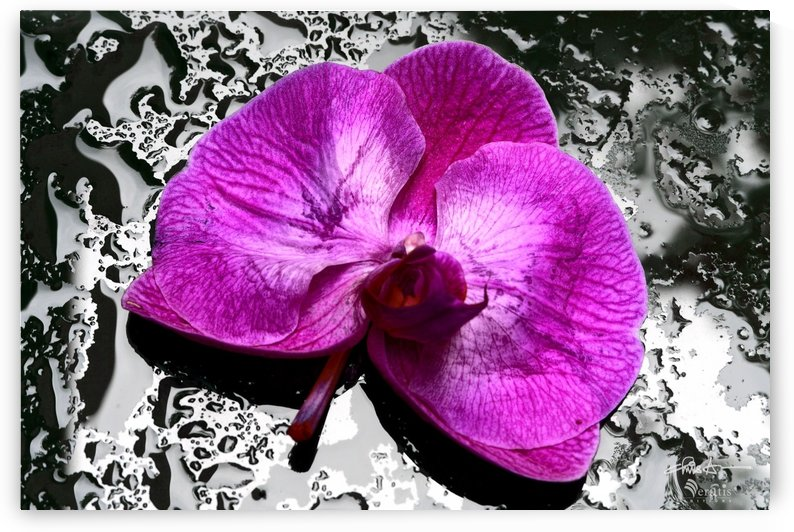 Magenta Orchid on Wet Glass 3x2 by Veratis Editions
