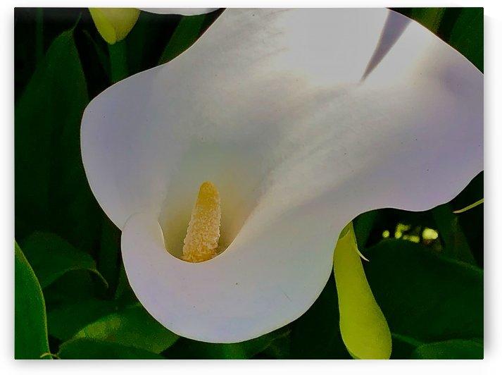 Pure White Lily by BotanicalArt ca