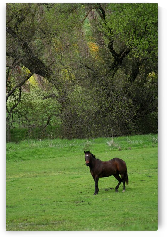 Lone Stallion by CreationLife Me