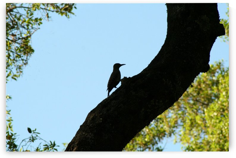Woodpecker Sillhouette by CreationLife Me