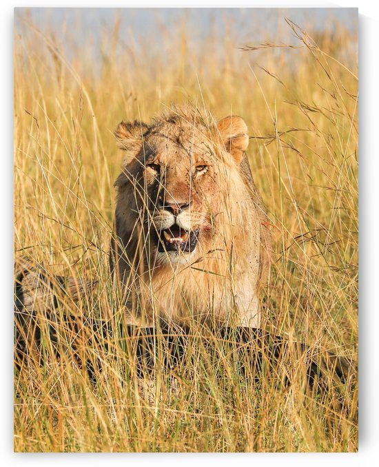 Lion hidding in tall grass by ND_PHOTOGRAPHY
