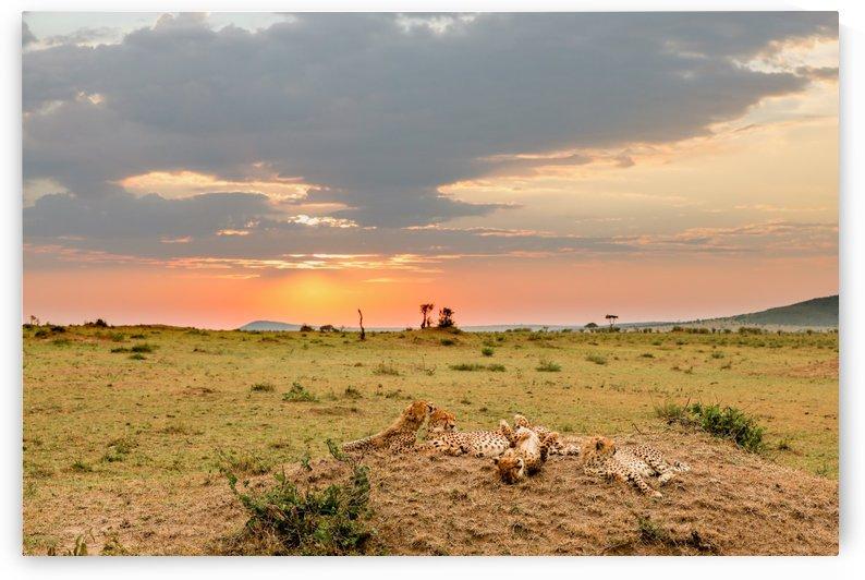 Cheetahs in the Masai Mara Sunset by ND_PHOTOGRAPHY