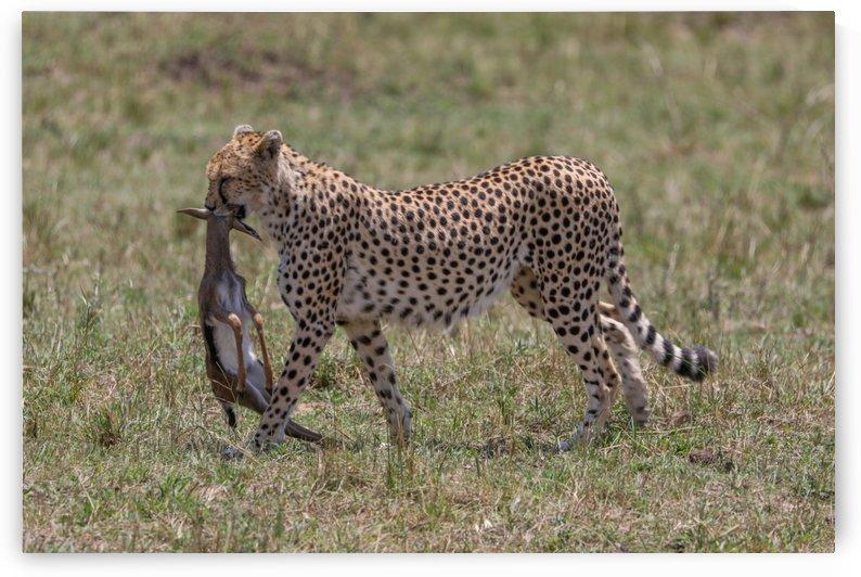Cheetah hunting - Masai Mara by ND_PHOTOGRAPHY