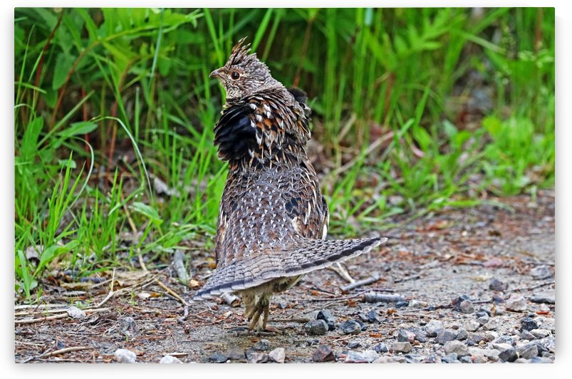 Ruffed Grouse Display by Deb Oppermann