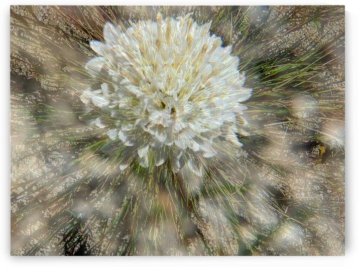 Desert Puff by Grammydudley