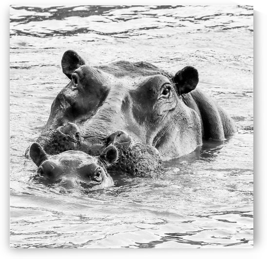 Hippo by ND_PHOTOGRAPHY