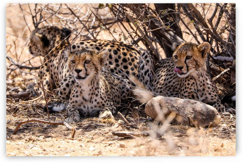Cheetahs by ND_PHOTOGRAPHY