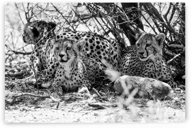 Cheetah B&W by ND_PHOTOGRAPHY