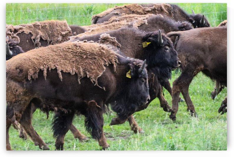 Buffalo  by Michael Stephen Dikovitsky