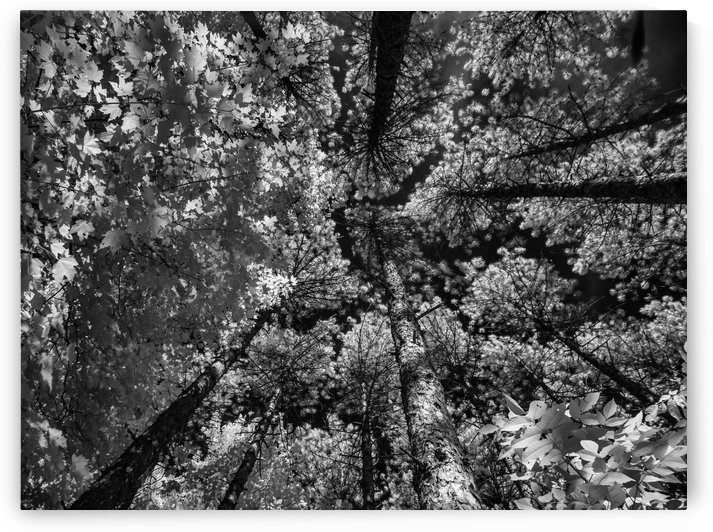 Infrared forest 2 by Jean-Francois Dupuis