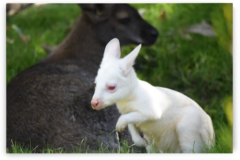 Albino Wallaby with His Mama by H.Hart Photography
