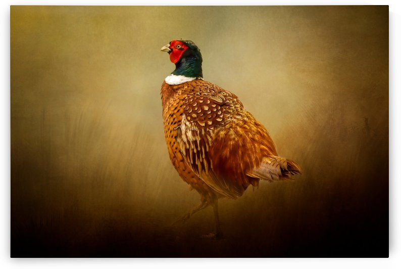 Ring Necked Pheasant by Michel Soucy
