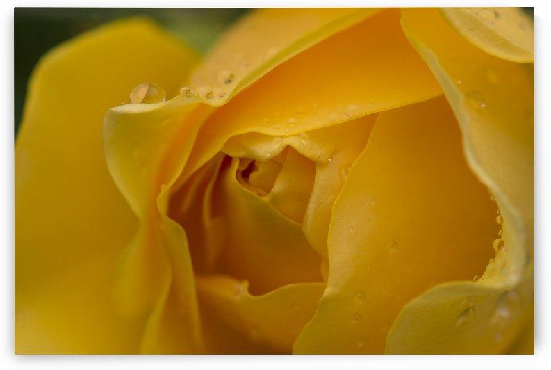Rose jaune by Christian Bibeau