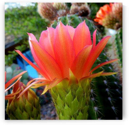 Cactus Flower by Sheri Schwan