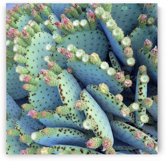 Prickly Pear by Sheri Schwan