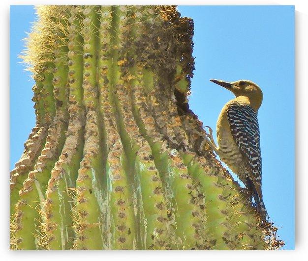 Cactus Wren by Sheri Schwan