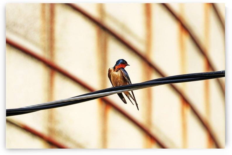 Barn Swallow Fine Feathers by Deb Oppermann