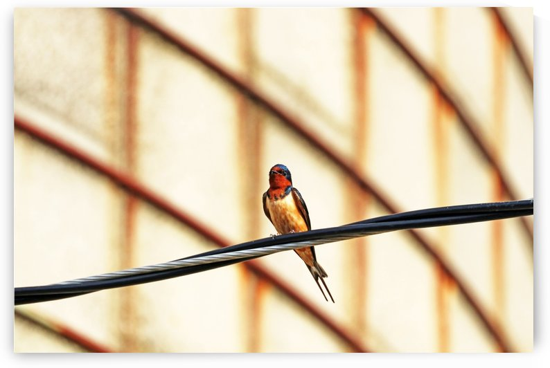 Perched Barn Swallow by Deb Oppermann