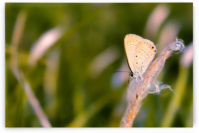 Cupid Butterfly by Sabrina Seheri