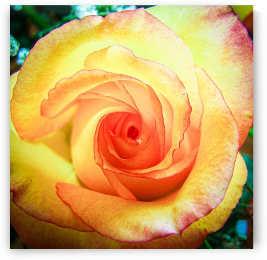 Spiral Rose by Belle Smith