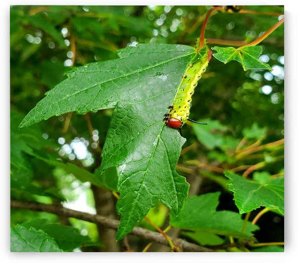 Greenstriped Mapleworm by The NC Geek