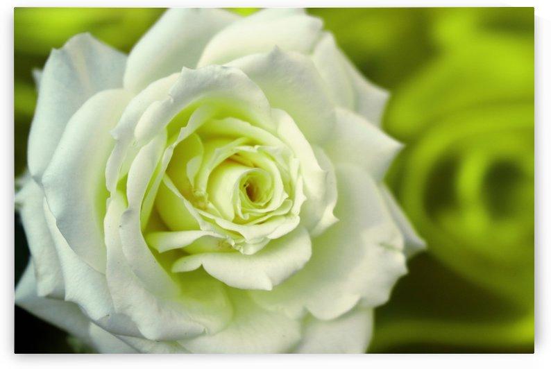 Rose green by Sabrina Seheri