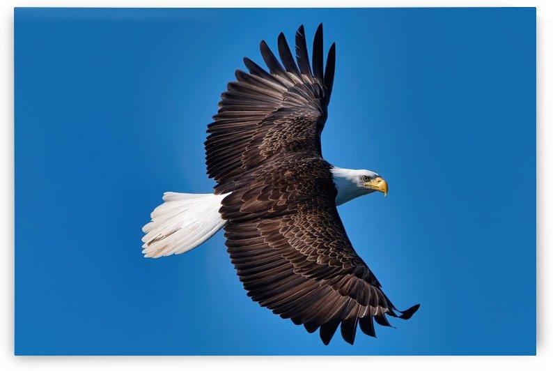 American Bald Eagle by Michael Muni