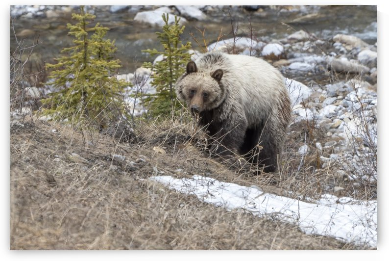 6944 - Grizzly Bear by Ken Anderson Photography