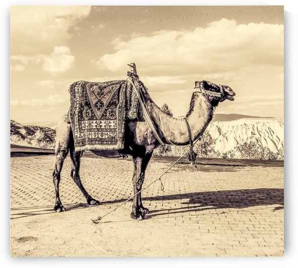 The Camel by Douglas Madel