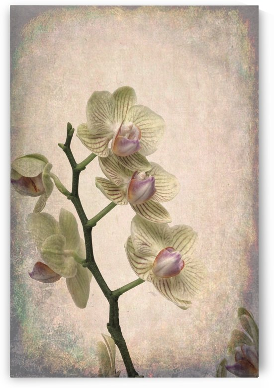 Orchid 1 by Denis Brien