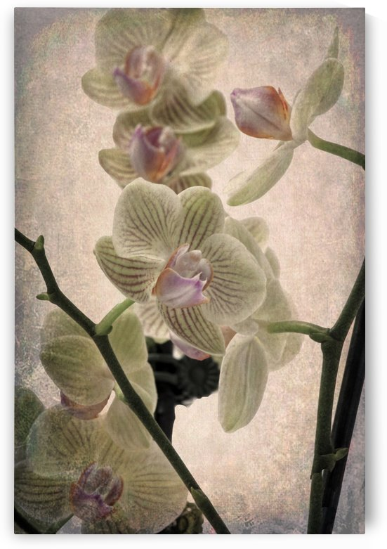 Orchid 4 by Denis Brien