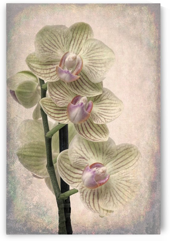 Orchid 3 by Denis Brien