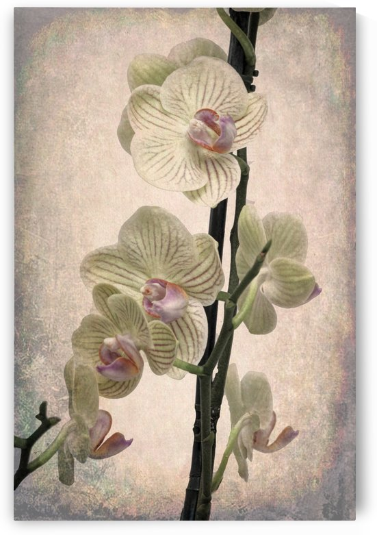 Orchid 2 by Denis Brien