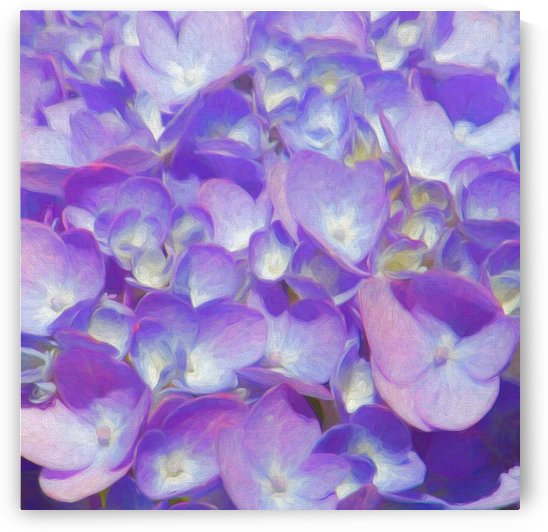 Purple Hydrangea Square  by HH Photography of Florida