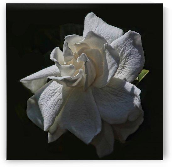 Gardenia Blossom  by HH Photography of Florida