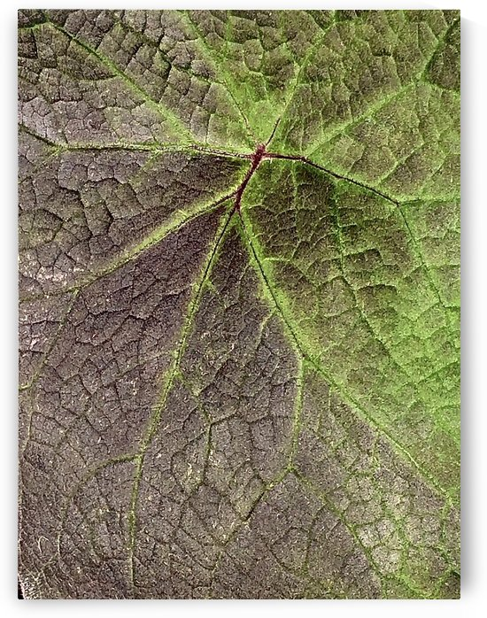 Variegated Leaf by BotanicalArt ca
