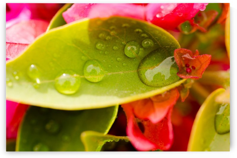 Water Droplets in Leaf by David Pinter