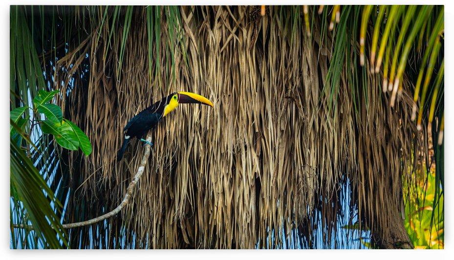 Toucan by Nicholas